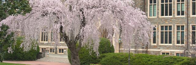 Cherry blossom tree in front of White Gravenor